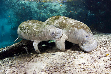 Florida manatee Endangered Florida Manatee Mother and nursing calf Trichechus manatus latirostris at Three Sisters Spring in Crystal River Florida USA The Florida Manatee is a subspecies of the West Indian Manatee