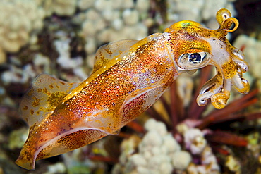 bigfin reef squid The male oval squid Sepioteuthis lessoniana can reach 14 inches in length Hawaii