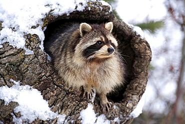 North American raccoon raccoon sitting in hole in tree trunk portrait snow winter