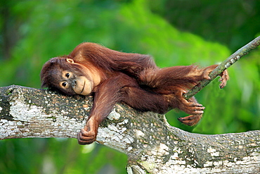 orang utan young Orang utan lying resting on branch portrait