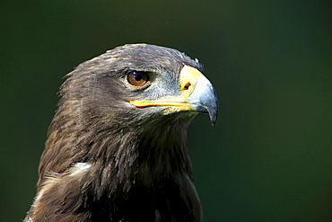 steppe eagle steppe eagle head portrait front view Germany