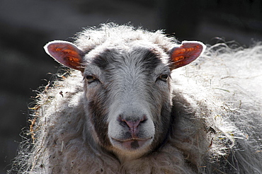domestic sheep sheep portrait eye contact
