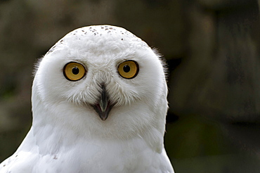 snowy owl portrait of owl eye contact