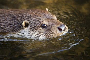 European otter European otter swimming in water head portrait