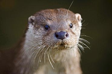 European otter European otter head portrait close up view