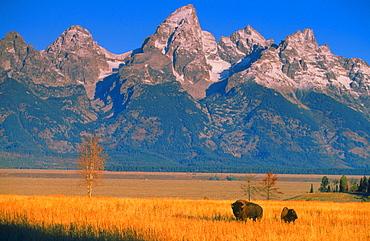 American bison or buffalo bison