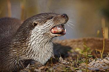 European otter European otter eating prey fish portrait