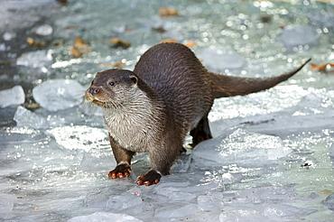 European otter European otter standing on ice portrait front view