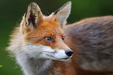 red fox or European fox red fox standing on meadow head portrait