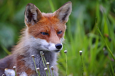 red fox or European fox red fox sitting in flowering meadow portrait