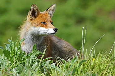 red fox or European fox red fox sitting on meadow head portrait