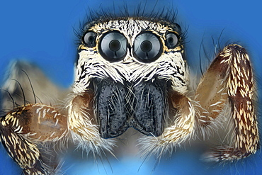 zebra jumping spider portrait head of a jumping spider Thuringia Germany Europe