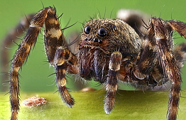 wolf spider spider Germany Europe