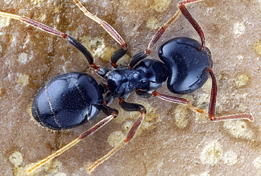 carpenter ant ant top shot Germany Europe