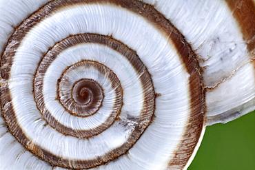 Eastern heath snail snail shell Germany Europe