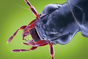 carabid ground beetle dorsal view