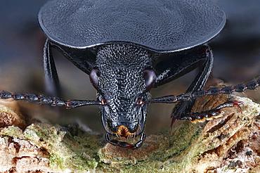 carrion beetle head portrait