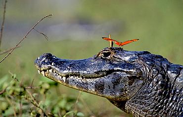 yacare caiman julia heliconian butterflies sitting on crocodiles head