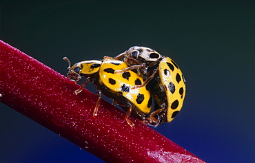 22-spotted ladybird beetle 22-spotted ladybird beetle