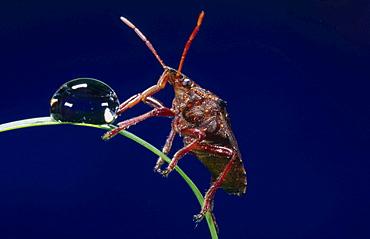 shield bug drinking