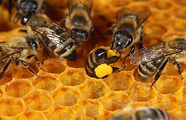 honey bee bee filling pollen into honeycomb