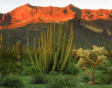 organpipe saguaro and cholla cacti with sunset light in Ajo Mountains Organ Pipe Cactus National Monument Arizona USA