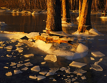 evening light on ice and tree trunks on frozen surface of the Illinois river USA