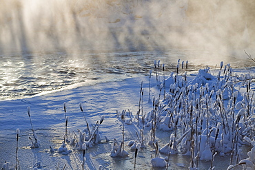 common cattail covered with snow in wintertime at misty riverside Sweden Scandinavia Europe