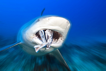 bull shark bull shark with prey swimming head portrait front view (Carcharhinus leucas)