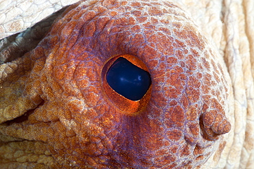 common octopus eye of common octopus close up view portrait Spain (Octopus vulgaris)