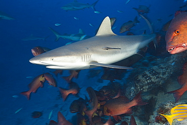 grey reef shark grey reef shark swimming over coral reef portrait side view (Carcharhinus amblyrhynchos)