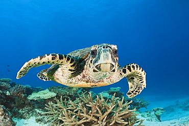 hawksbill turtle hawksbill turtle swimming over coral reef portrait front view (Eretmochelys imbricata)