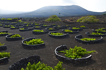 grape vine vine Malvasia grapes vineyard plants growing on volcanic soil outdoors La Geria Isla Lanzarote Province Las Palmas Canary Islands Spain Europe (Vitis vinifera)