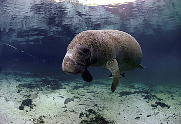 Florida manatee gray snapper sheltering under manatee animal community underwater Crystal River Florida USA