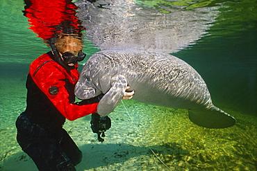 Florida manatee young manatee and diver scratching manatee Crystal River Florida USA