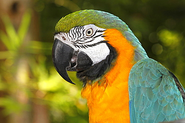 blue-and-yellow macaw blue-and-yellow macaw portrait of adult (Ara ararauna)