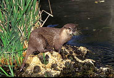 Oriental short-clawed otter short clawed otter adult standing on rock near water (Aonyx cinerea)