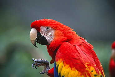 scarlet macaw birds standing lifting foot toe distorted
