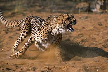 cheetah animal in rehabilitation running through Sand power powerful speed