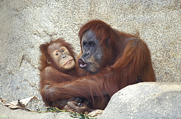 orang utan Sumatran orang utan orang utan couple small female and larger male sitting on foilage lying on rocks holding each other with arms and legs male pouting lips