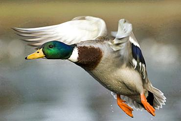 Northern mallard male flying Lower Saxony Germany Europe