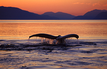humpback whale tail fin or fluke of diving whale above sea surface water running off fluke in front of mountains at sunset cetacean cetaceans identification profile fluke margin margins one animal only horizontal format