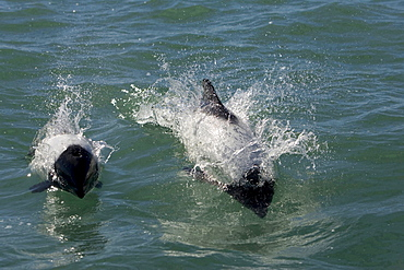 Commerson's dolphin frontal total view of two dolphins swimming at surface horizontal format