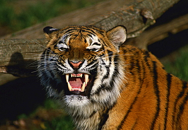 tiger portrait female growling zoo Munster Germany Animals
