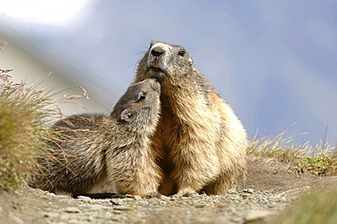 Alpine marmot two adult with young cuddling behaviour total view