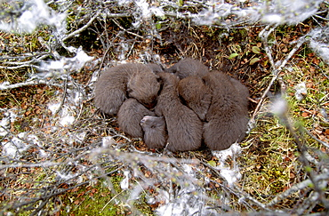 Arctic fox group of juveniles lying close together sleeping in nest on ground among partly snow-covered vegetation outdoors horizontal format