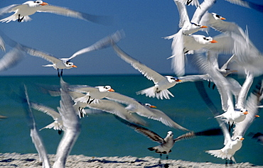 royal tern flock group of birds taking off from shore wings spread sea in background outdoors horizontal format