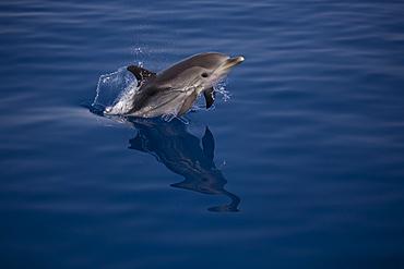 Striped dolphin (Stenella coeruleoalba) leaping. Greece, Eastern Med. - 906-24