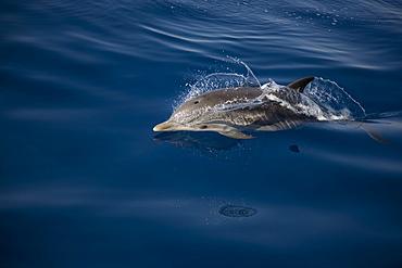 Striped dolphin (Stenella coeruleoalba) breaking the surface. Greece, Eastern Med.