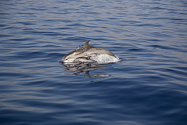 Striped dolphin (Stenella coeruleoalba) mother and newborn. Greece, Eastern Med. - 906-32